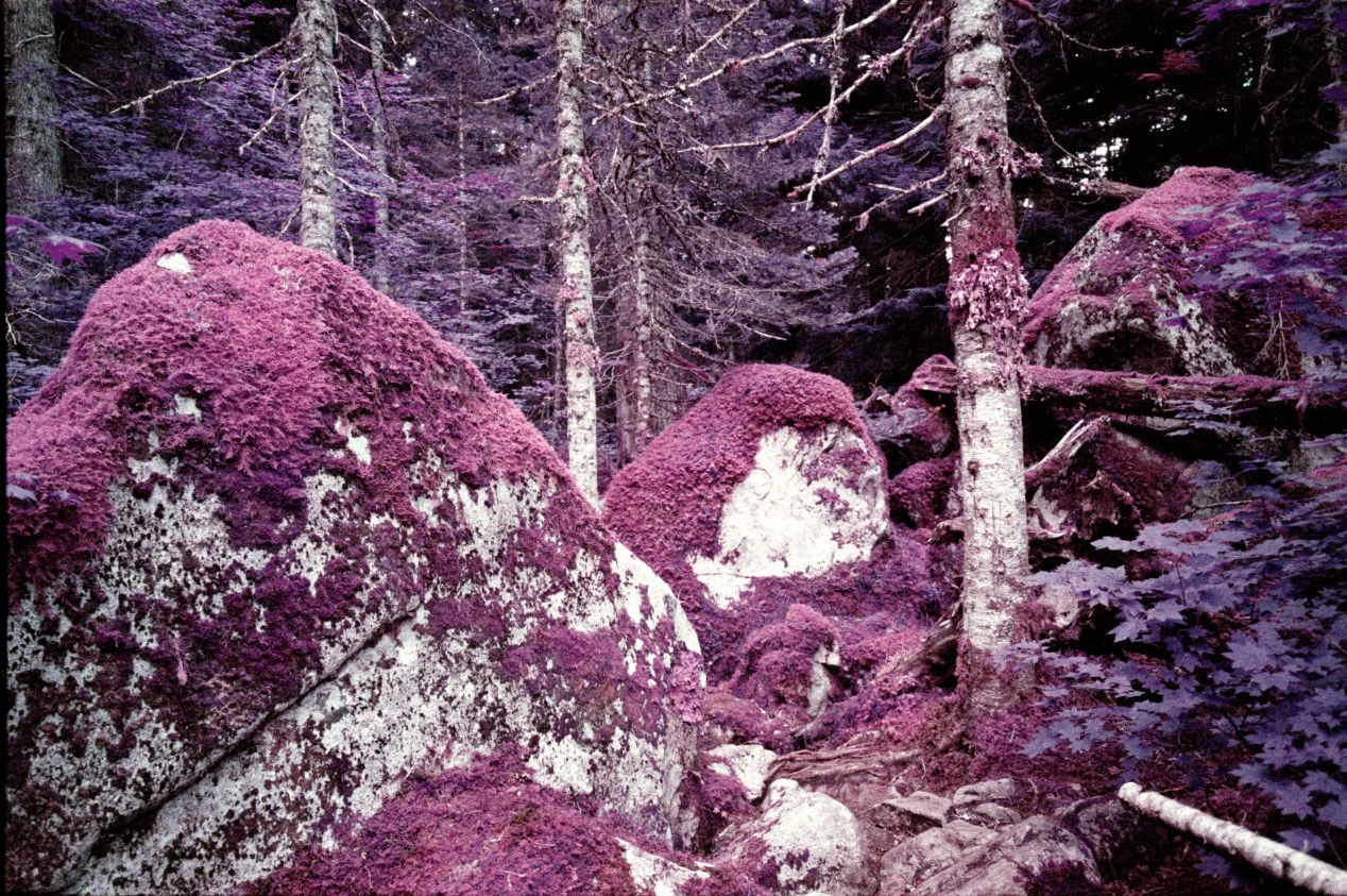 Lomochrome Purple, shot with Minolta TC-1. Unlike Aerochrome, this film will not colour tree trunks, branches, and roots.