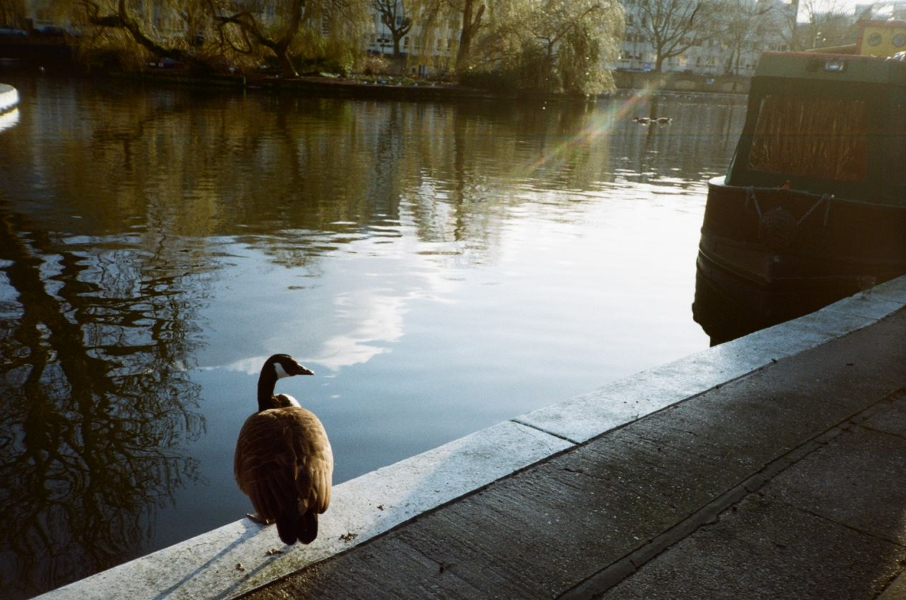 A pensive goose