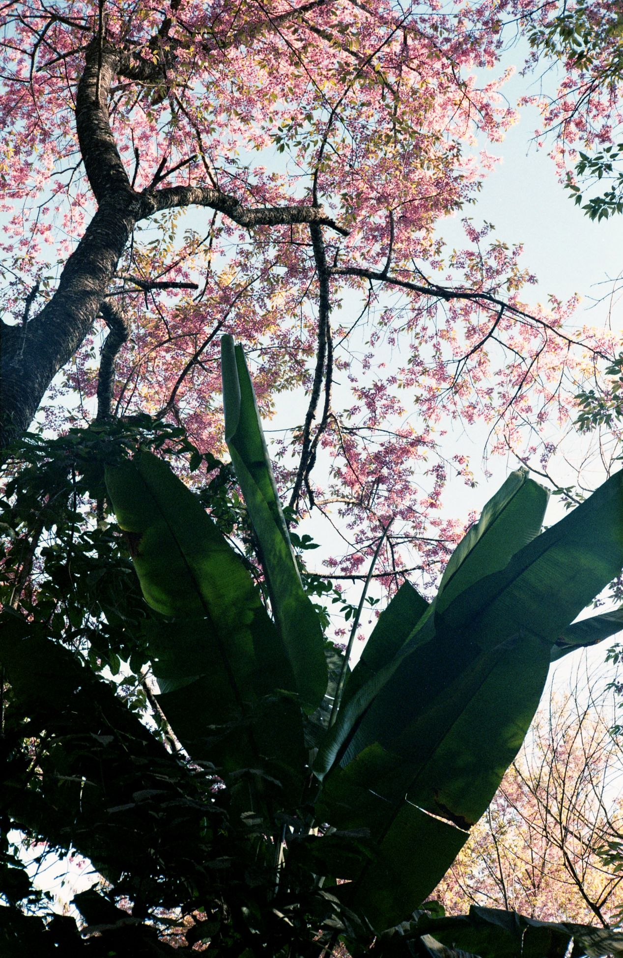 Cherry blossoms bloom every February at the top of Suthep mountain, alongside with banana trees and coffee plants.