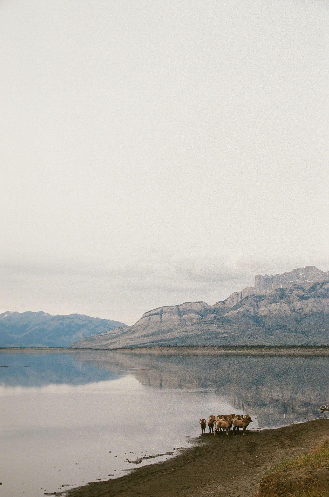 Bighorn sheep, near Jasper.