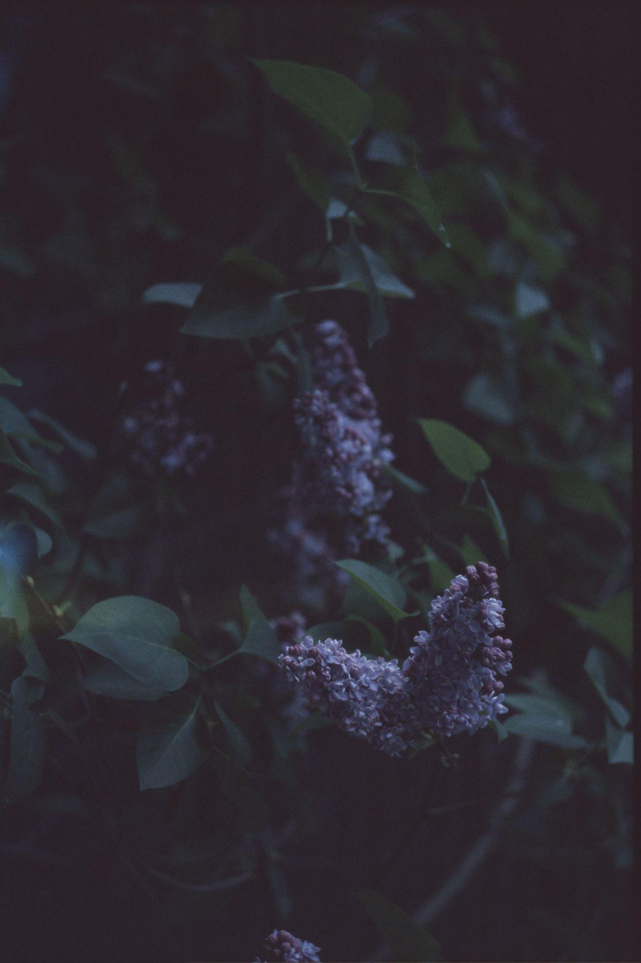 Lilacs in the dusk. Shot on Voigtländer Vitessa A.
