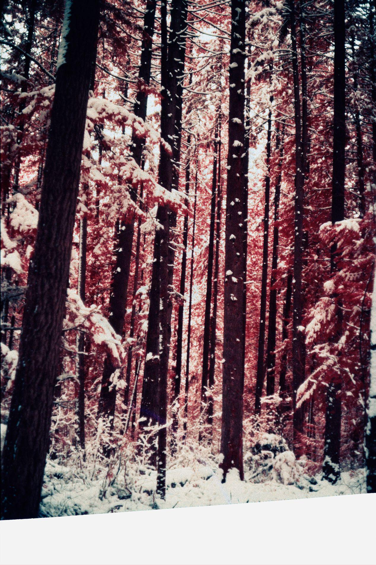 Winter forest on Kodak Aerochrome infrared slide film.