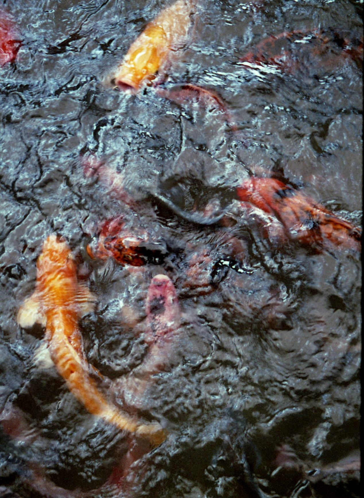 Koi Fish: One of the first shots I took with the Ricoh Caddy.  Fuji Color Industrial 400.