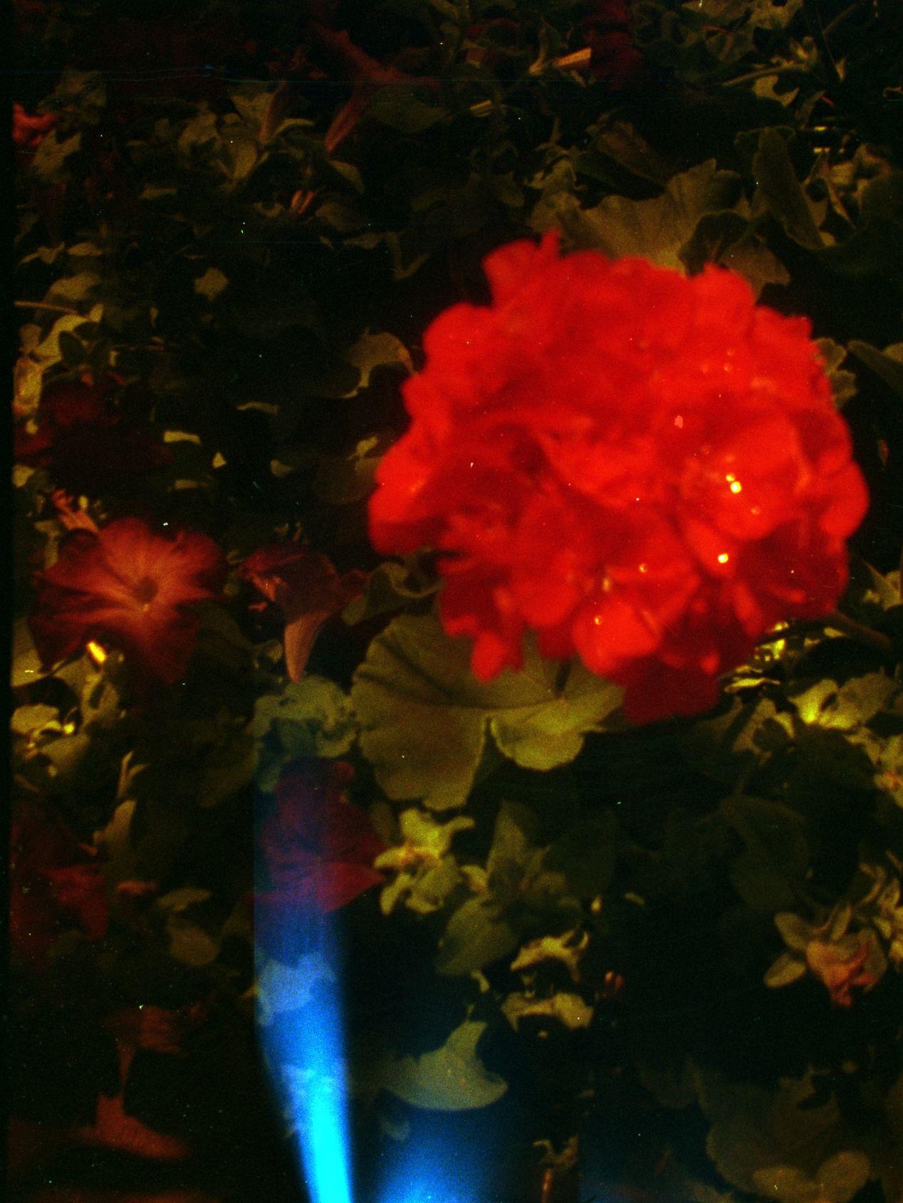 Flipped (redscale) Lomography Color Negative 400 on Diana Mini.