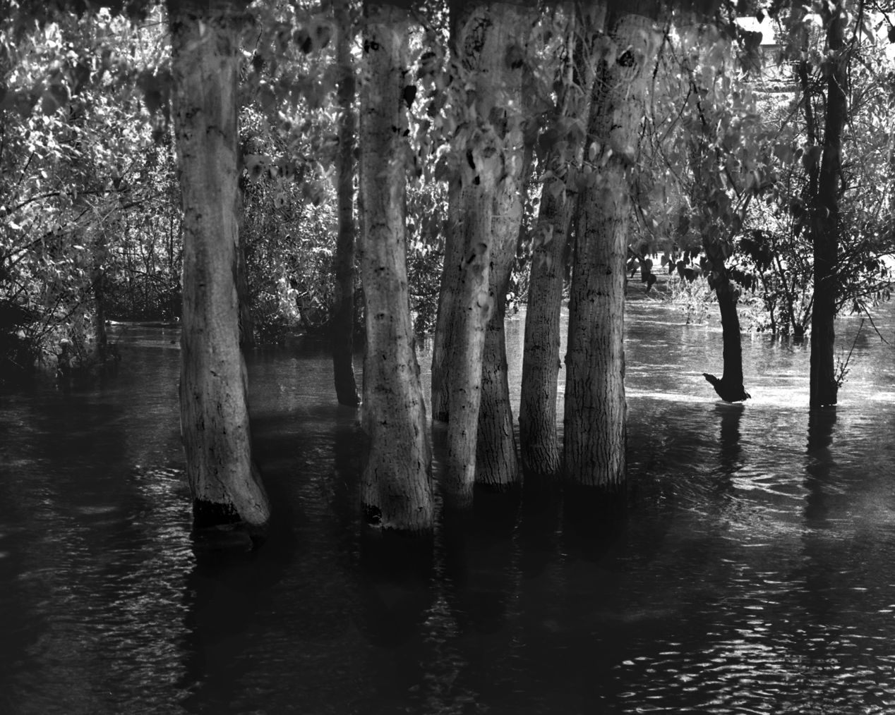 """Swamped Trees"" — shot on Arista 100 4x5 at Wenatchee River, Leavenworth Wa."