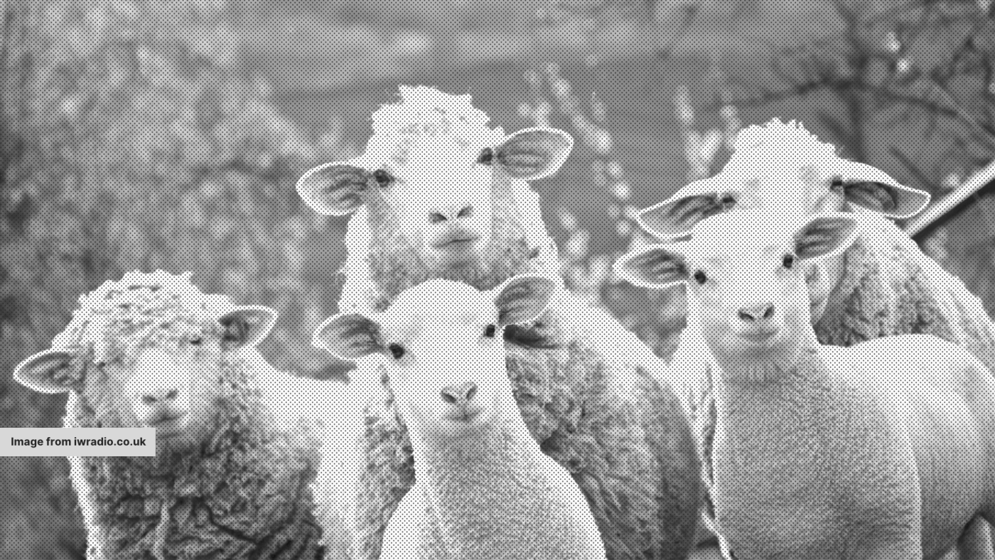 Some sheep, looking at the camera