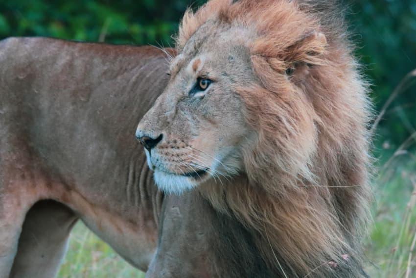Intense Lion