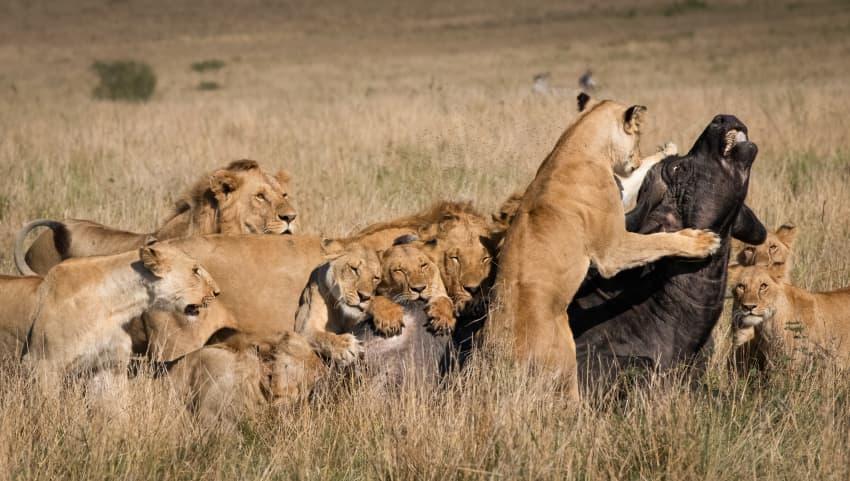 Lion Takedown