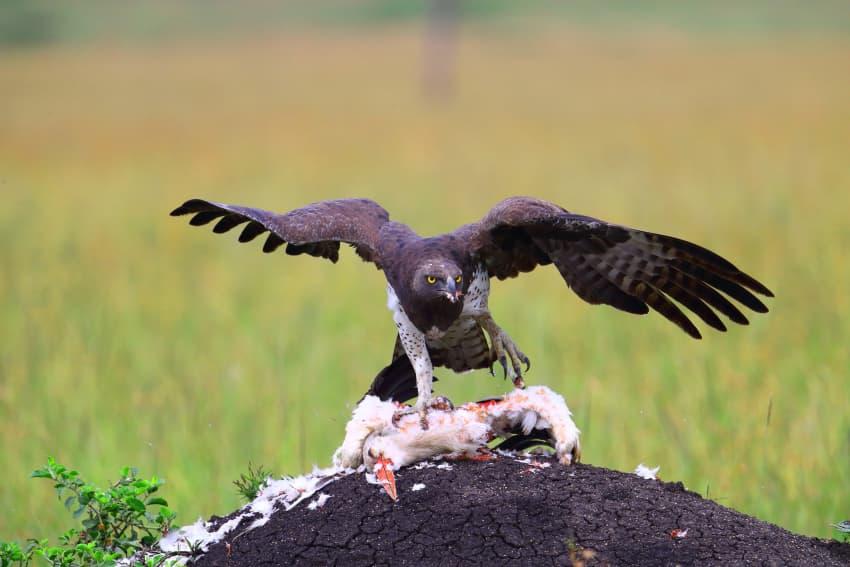 Martial Eagle feeding on a White Stork