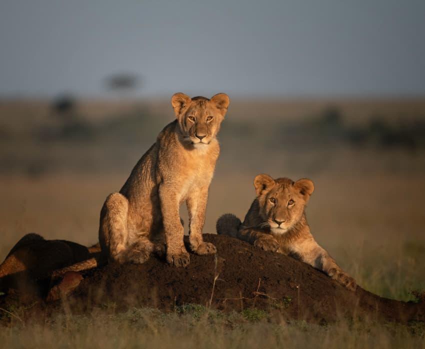 Golden cubs