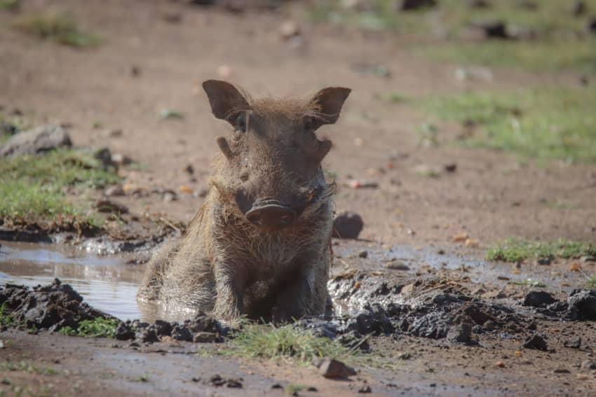 Mud Bathing Pumbaa