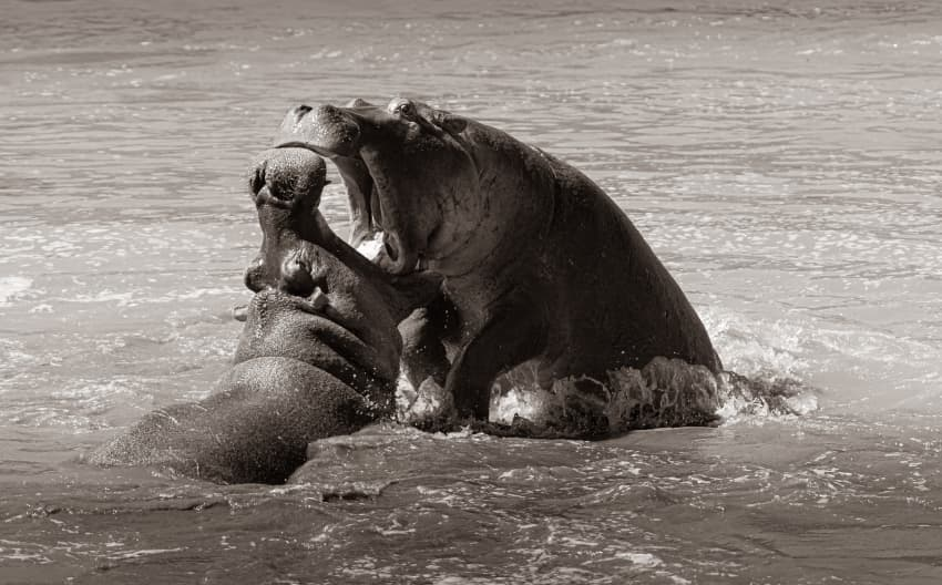 Hippo playtime