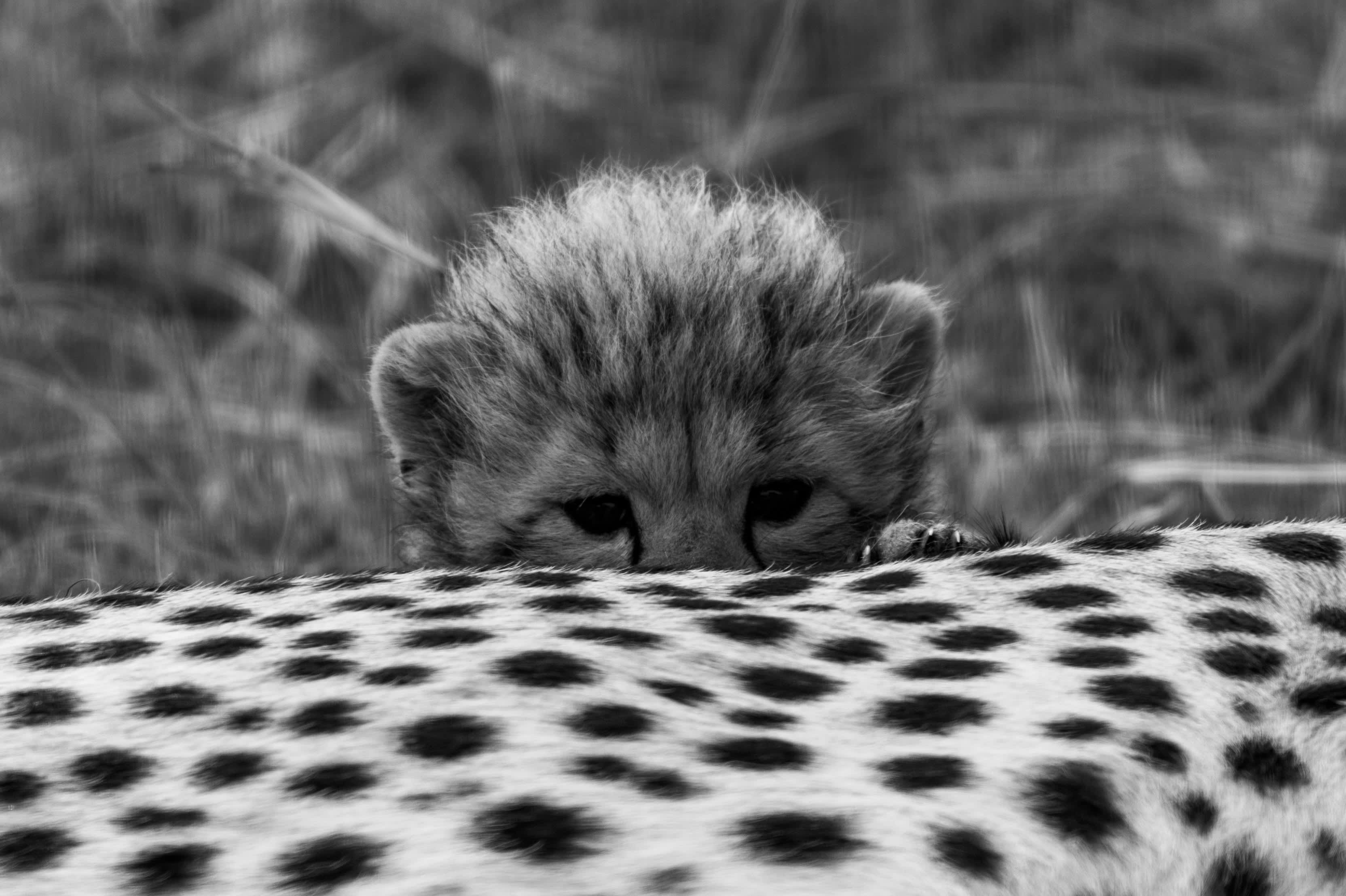 Baby Cheetah taking a peek