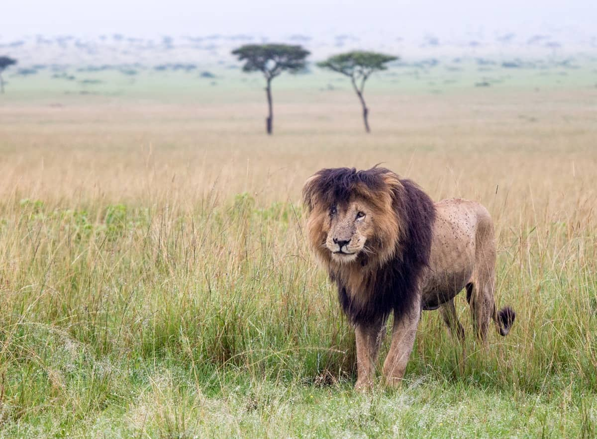 Scar King of the Mara