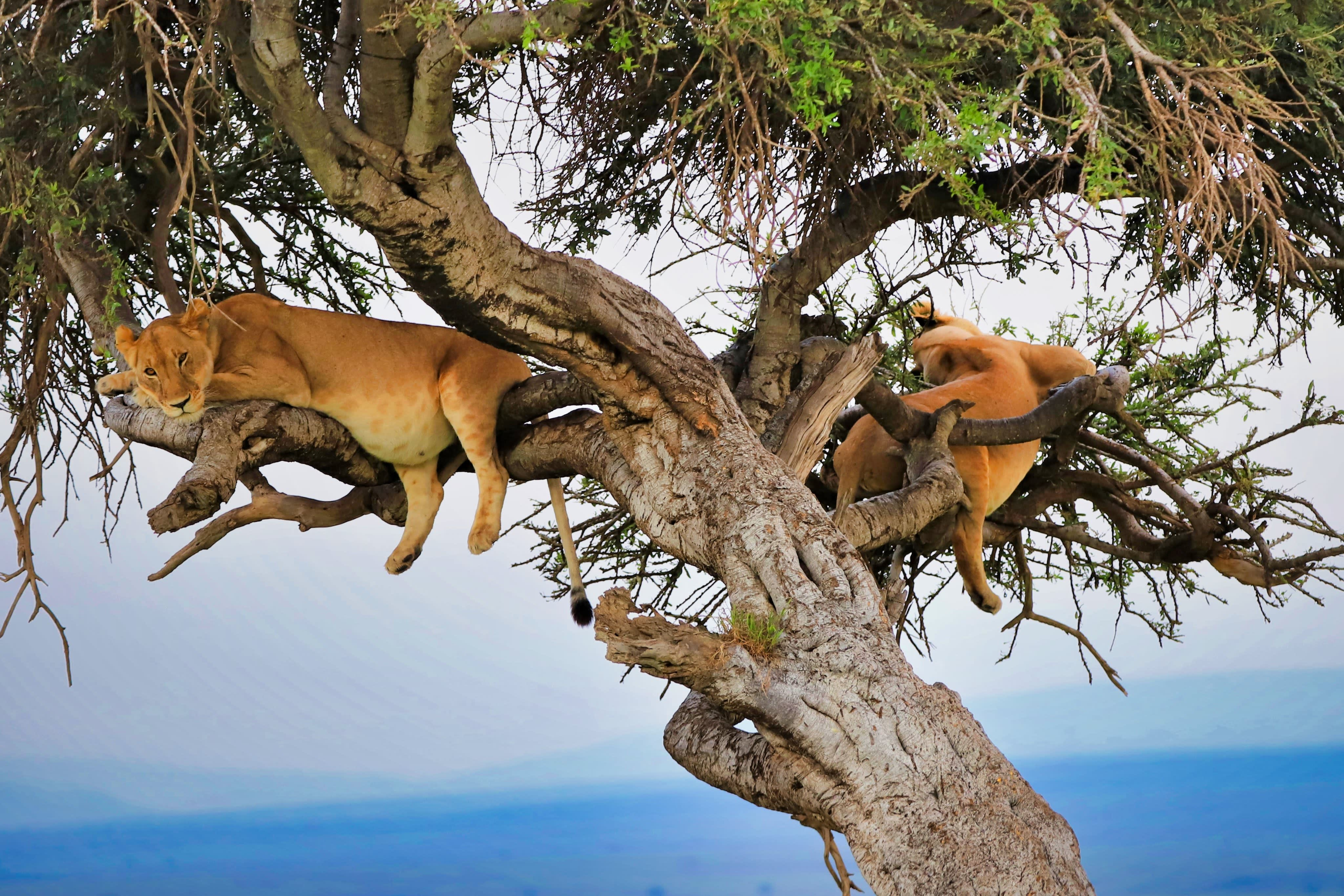 Two lazy cats in a tree