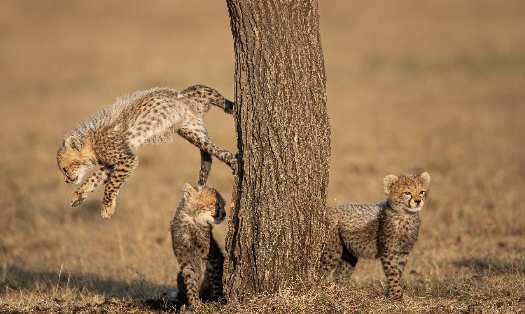 Alert Cubs