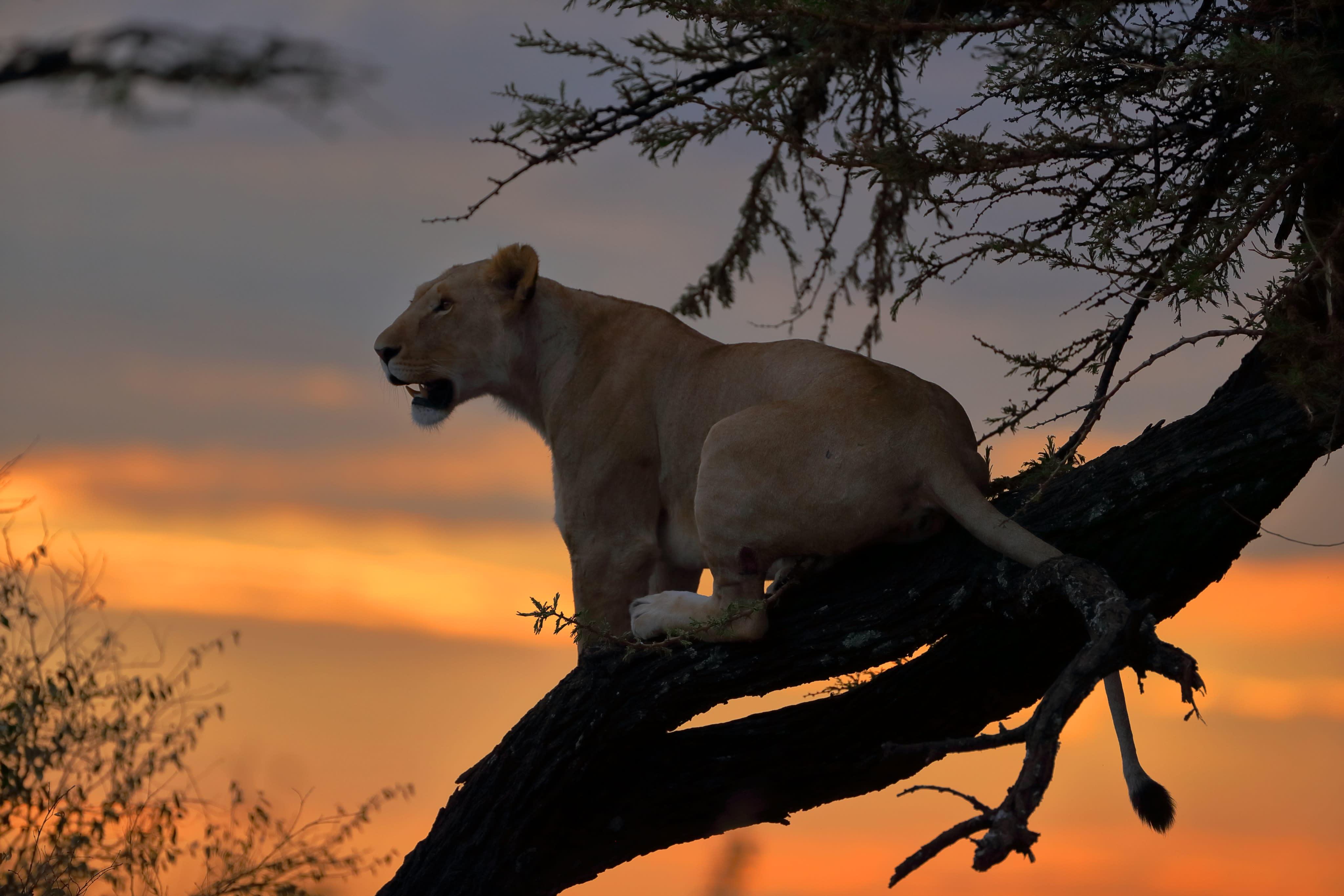 Lioness sundowner