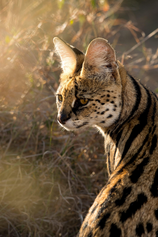 Golden-Eyed Serval Cat
