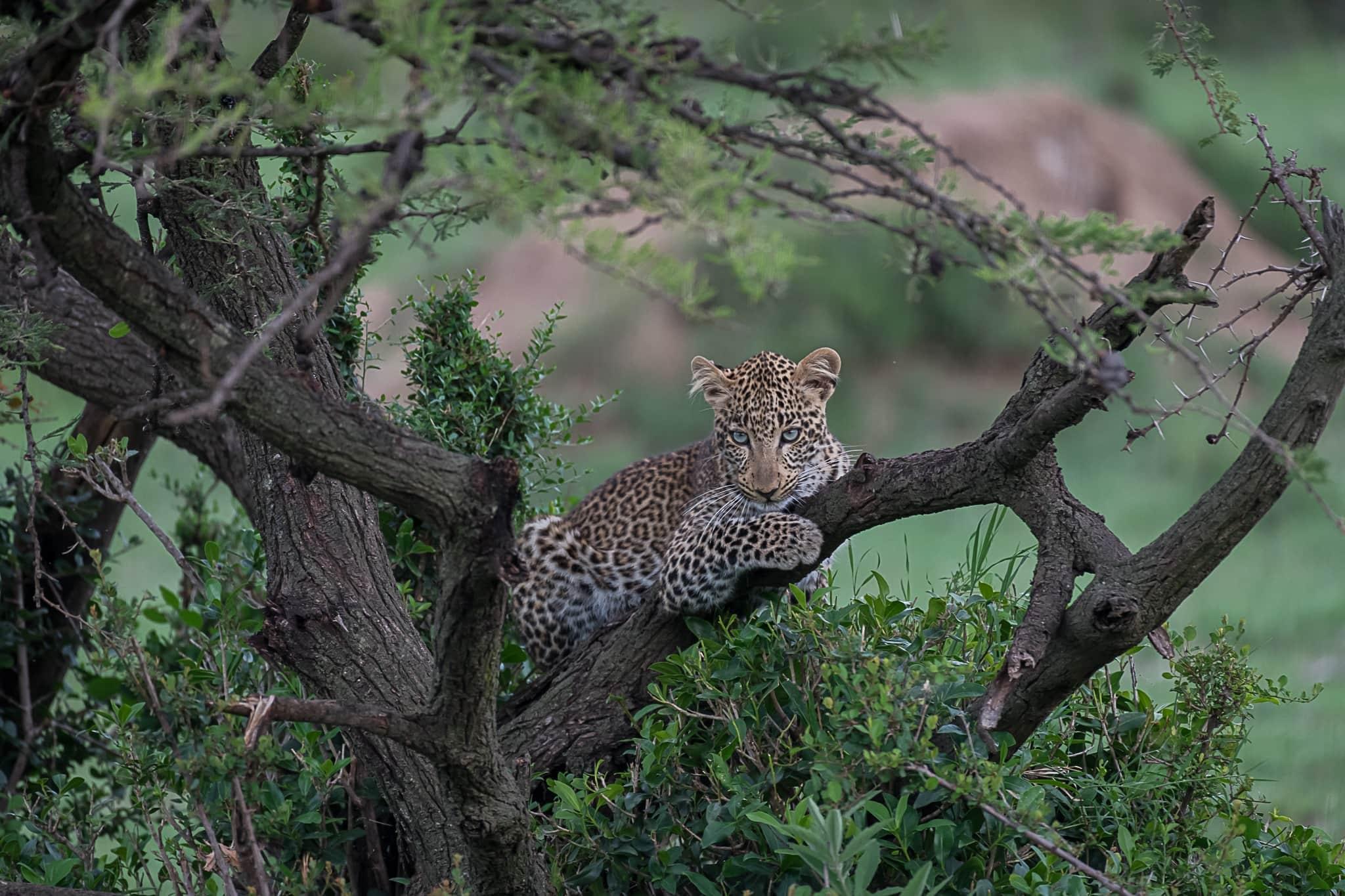Leopard in green