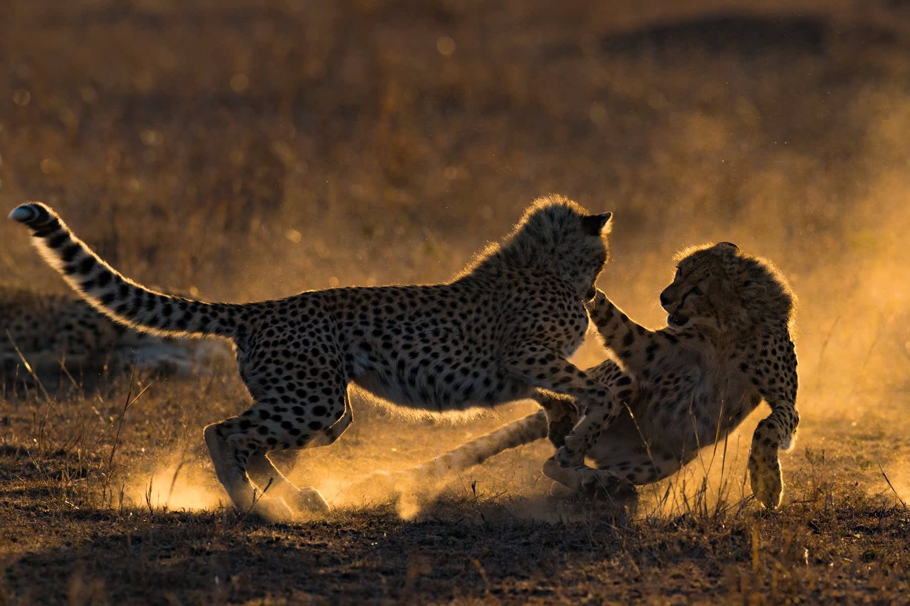 Cheetah Cubs Playing At Sunrise