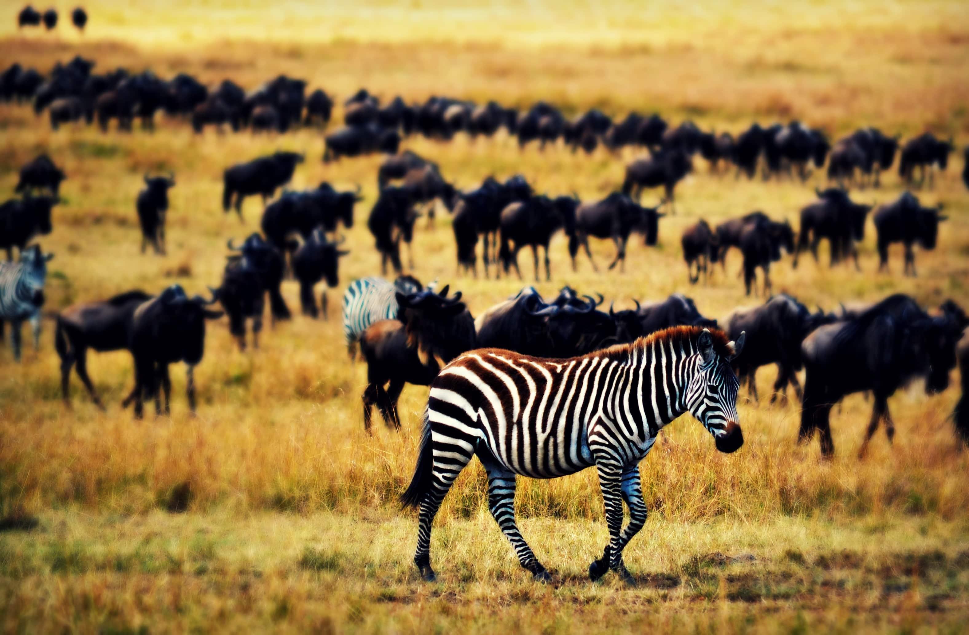 The Lone Zebra
