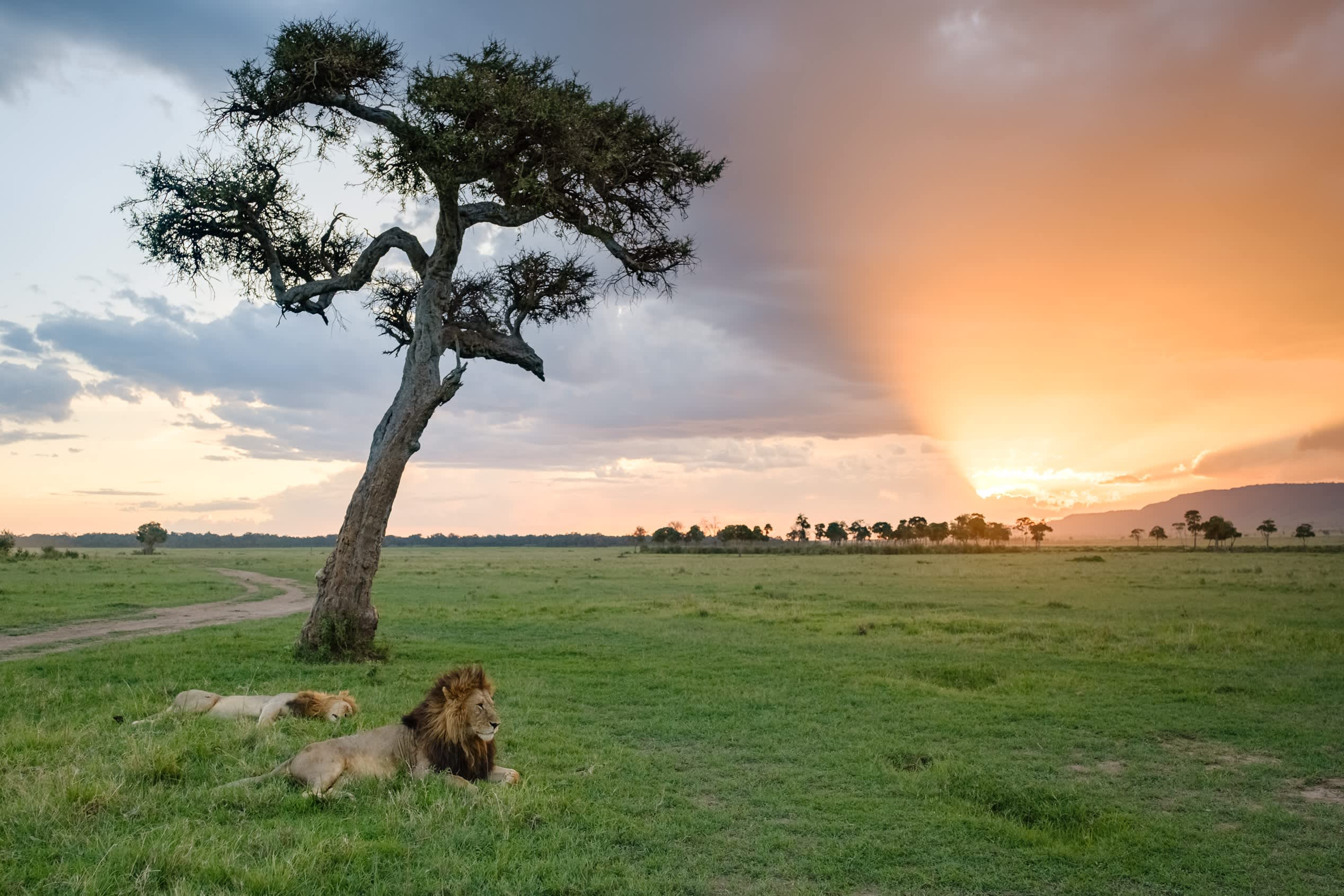 Two male lions resting on the Maasai Mara at sunset