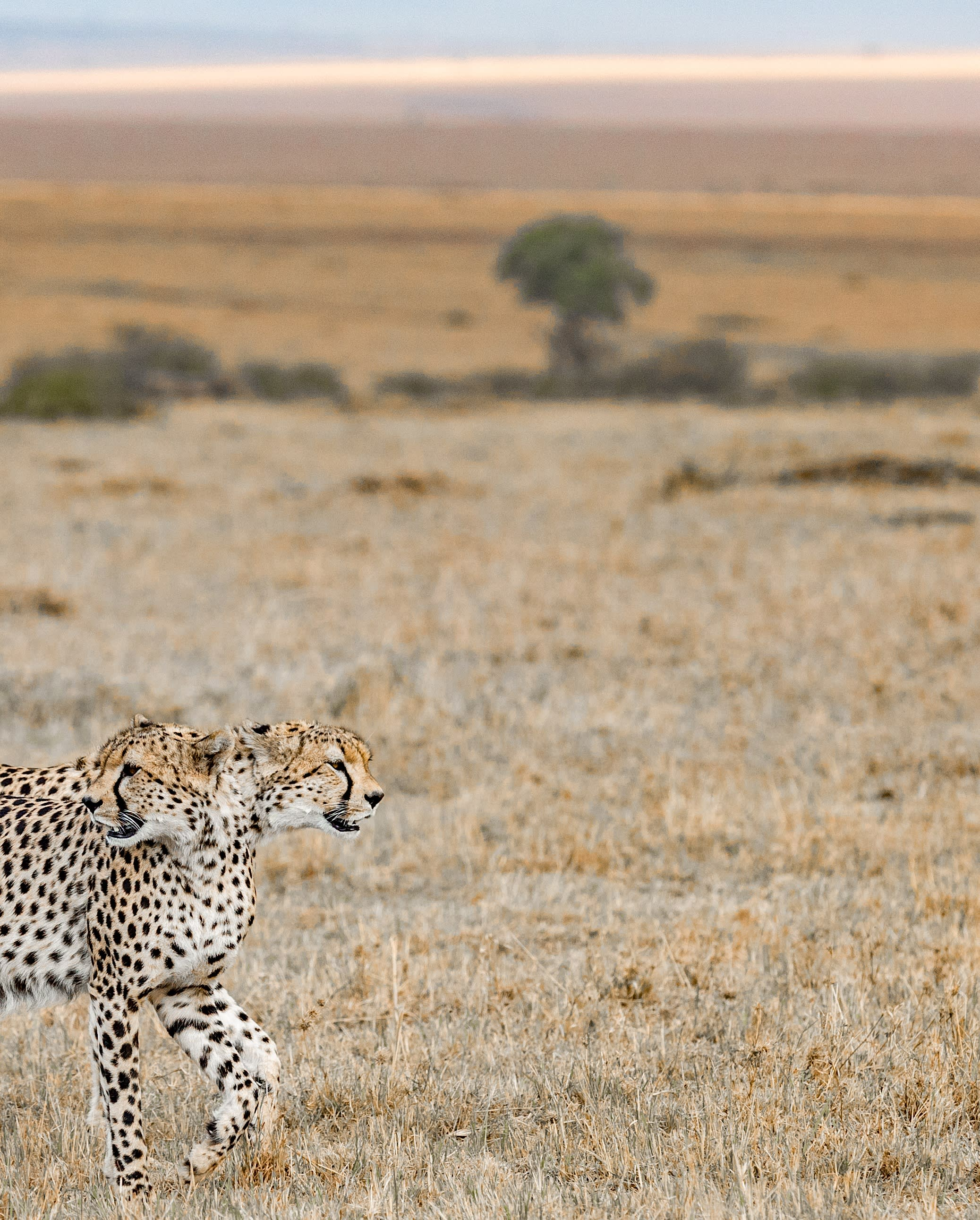 The Two headed Cheetah