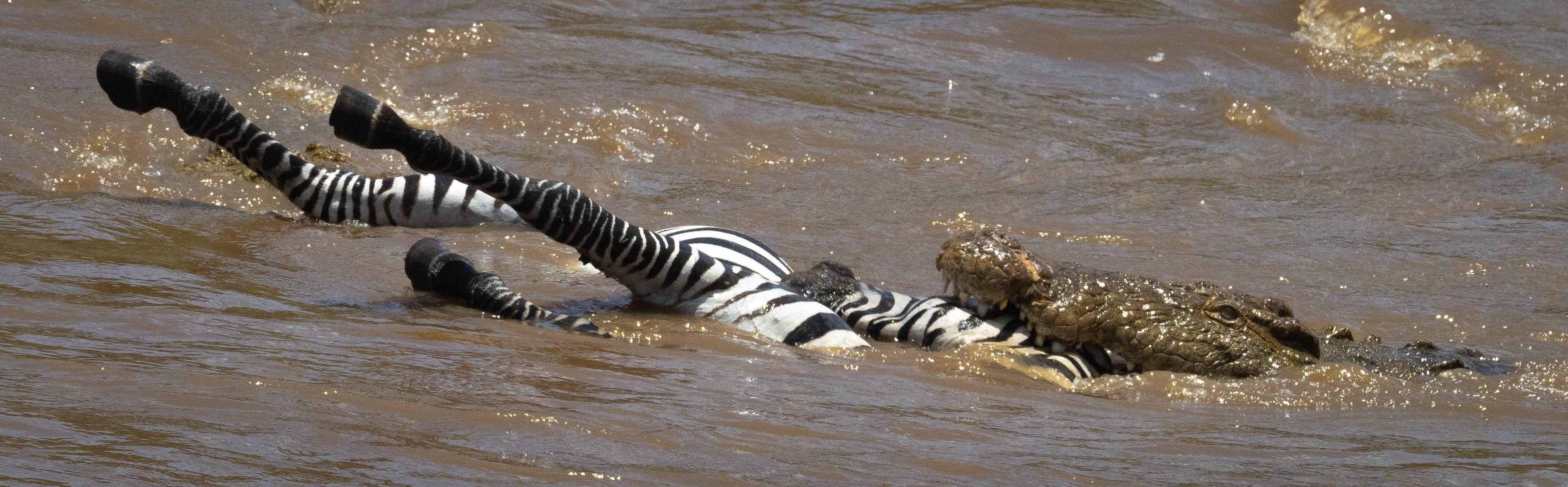 Crocodile pushing zebra upstream