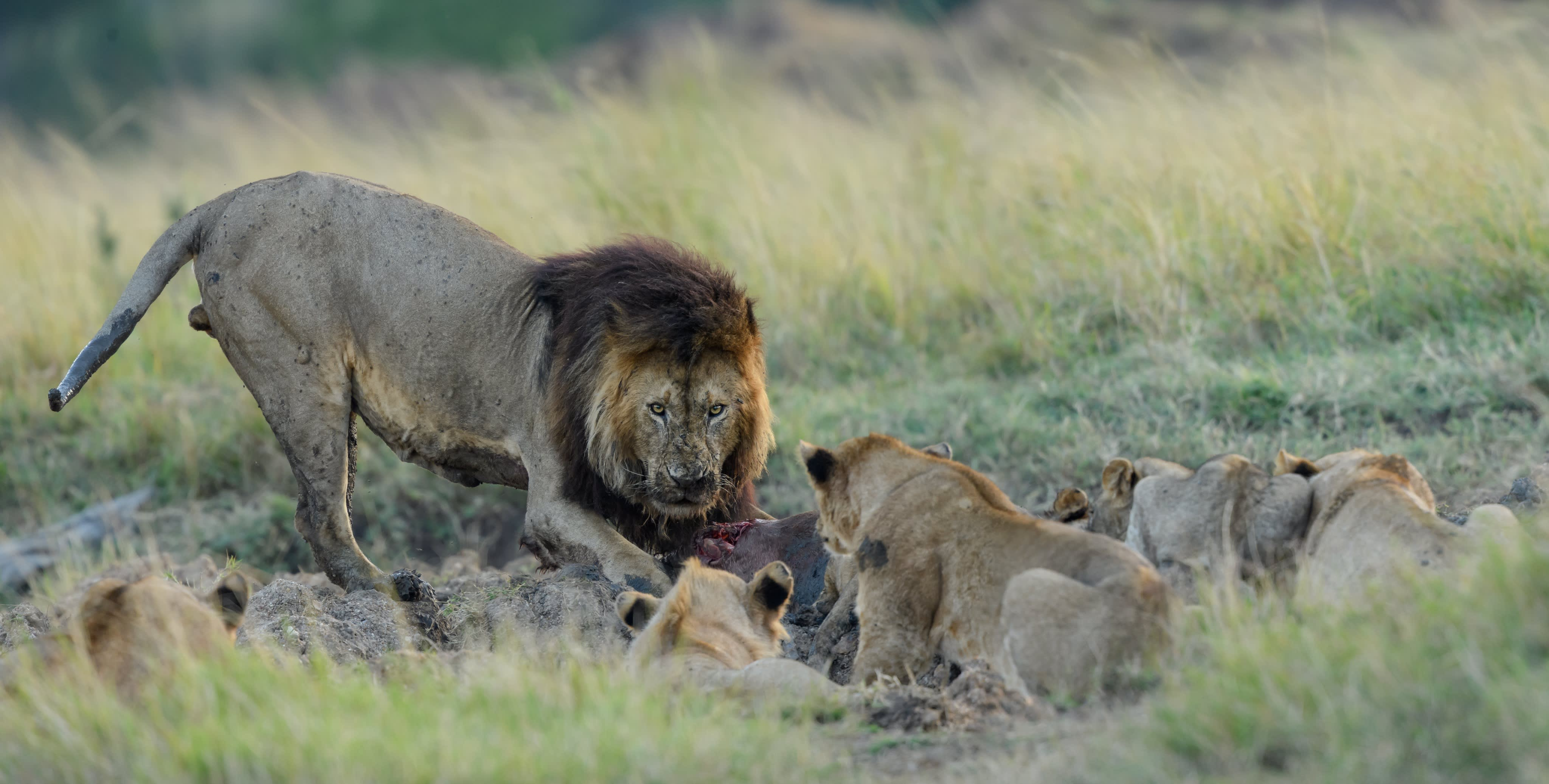 No Family when it comes to feeding time with Lions.