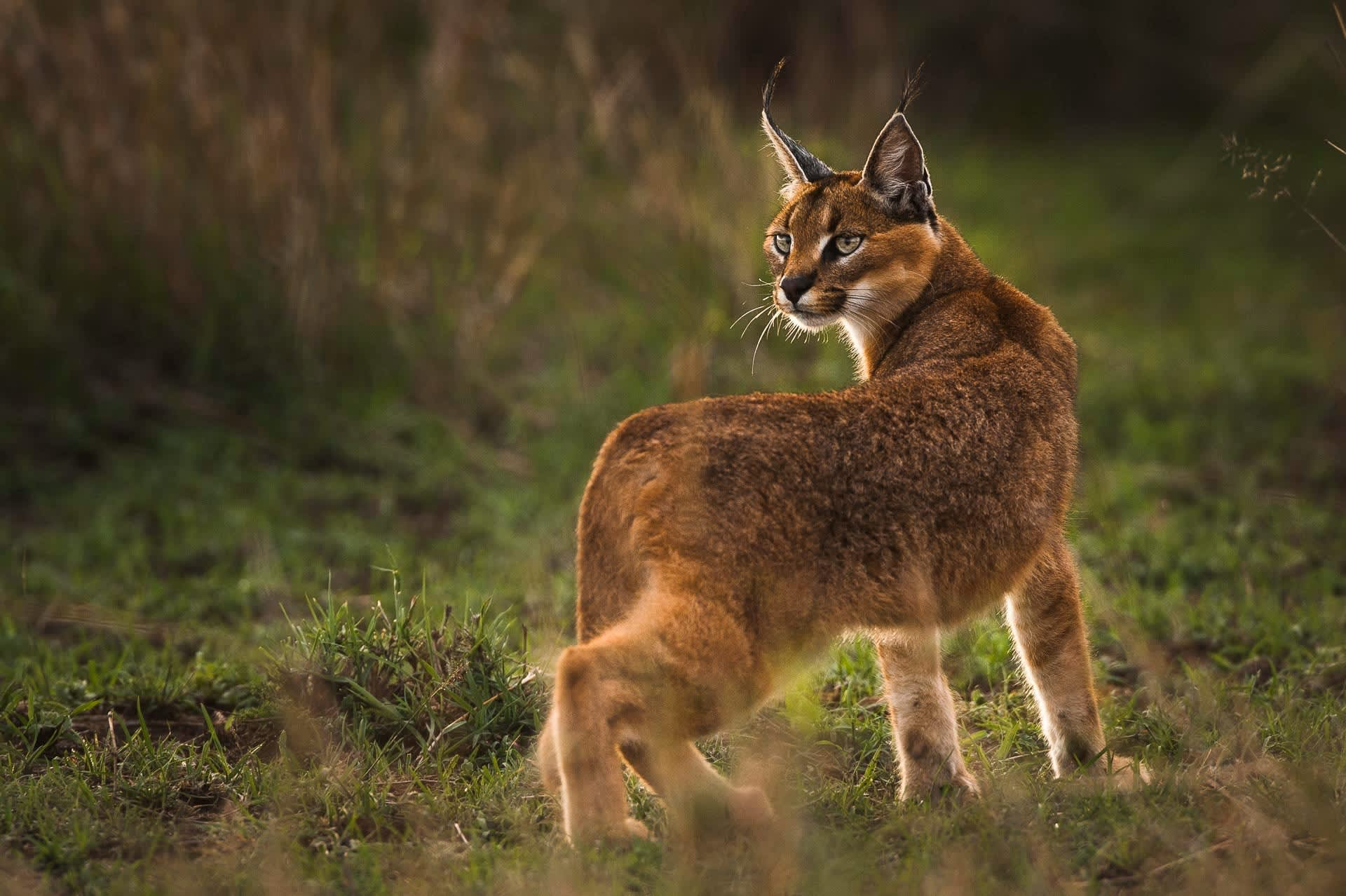 Caracal Looking Back