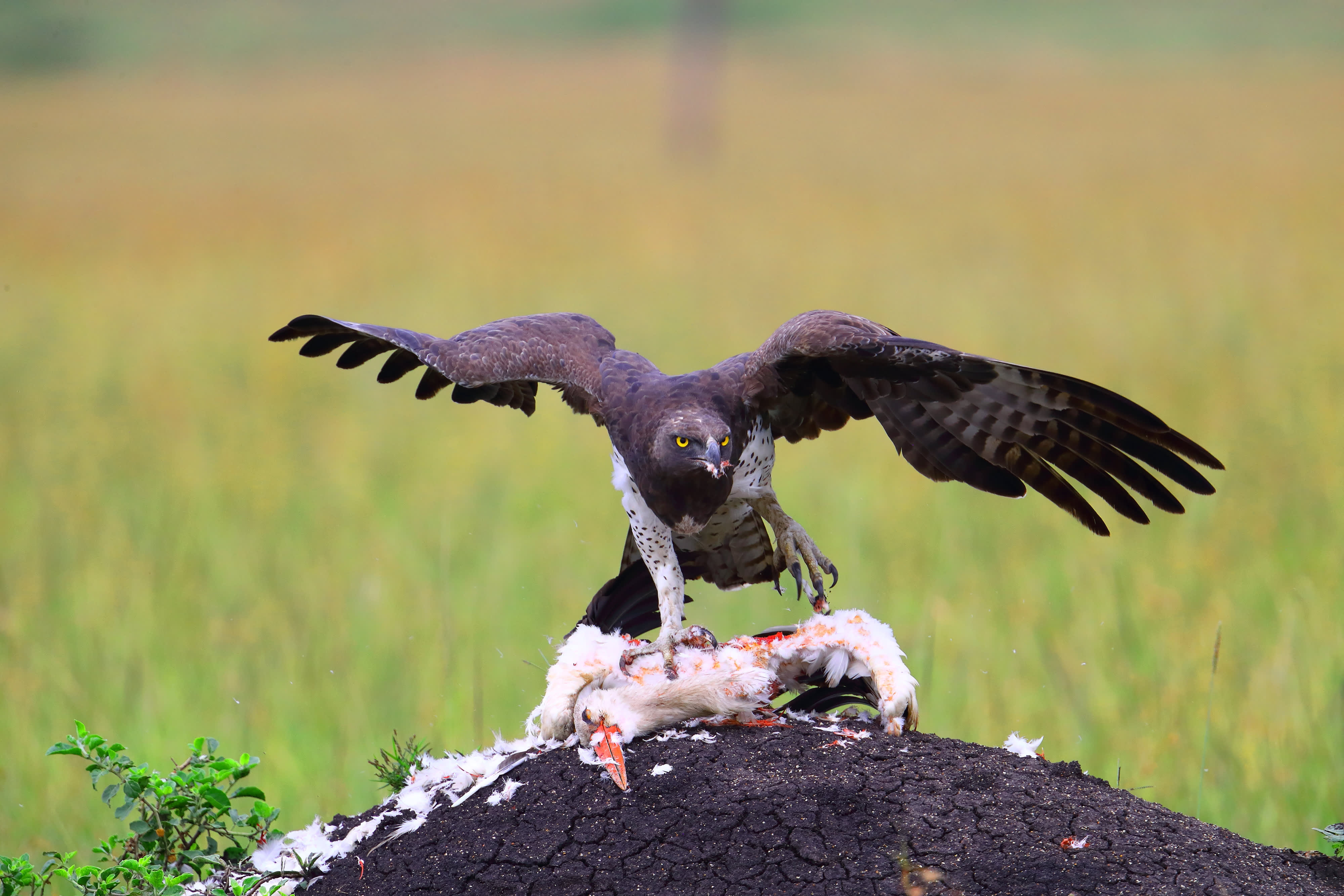 Martial Eagle feeding on a White Stork
