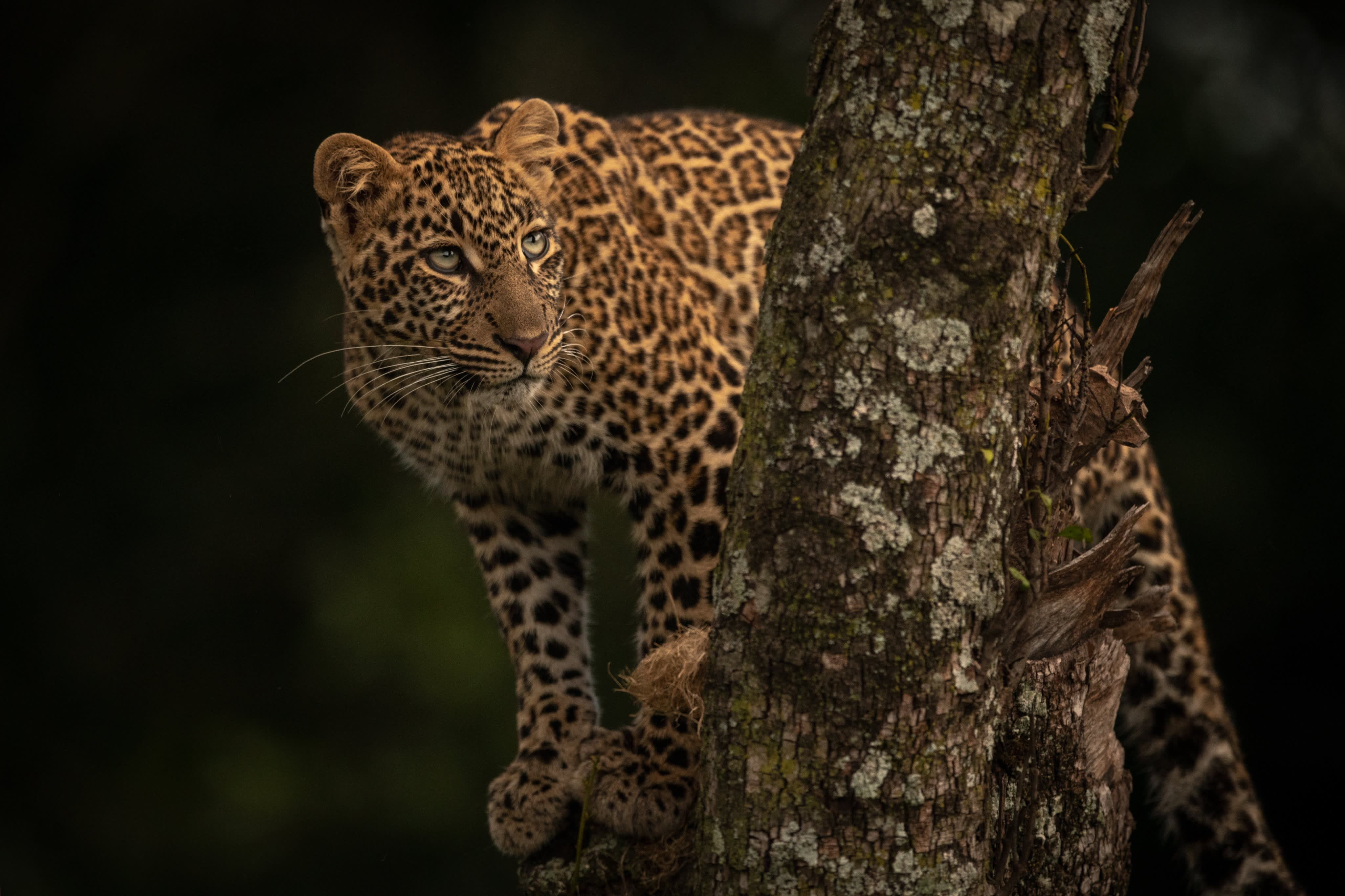 Leopard looks up from perch in tree