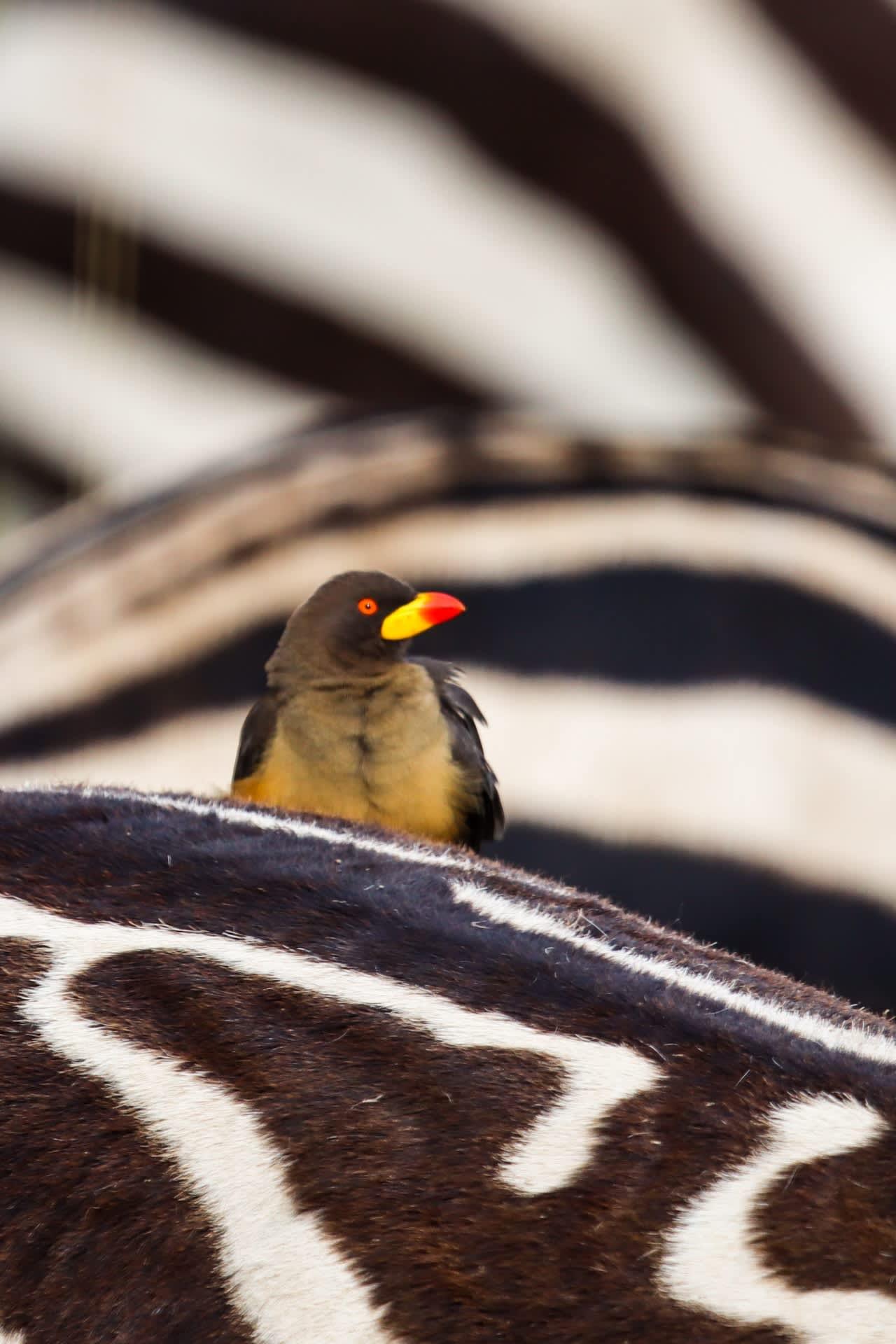 Bird On Zebra