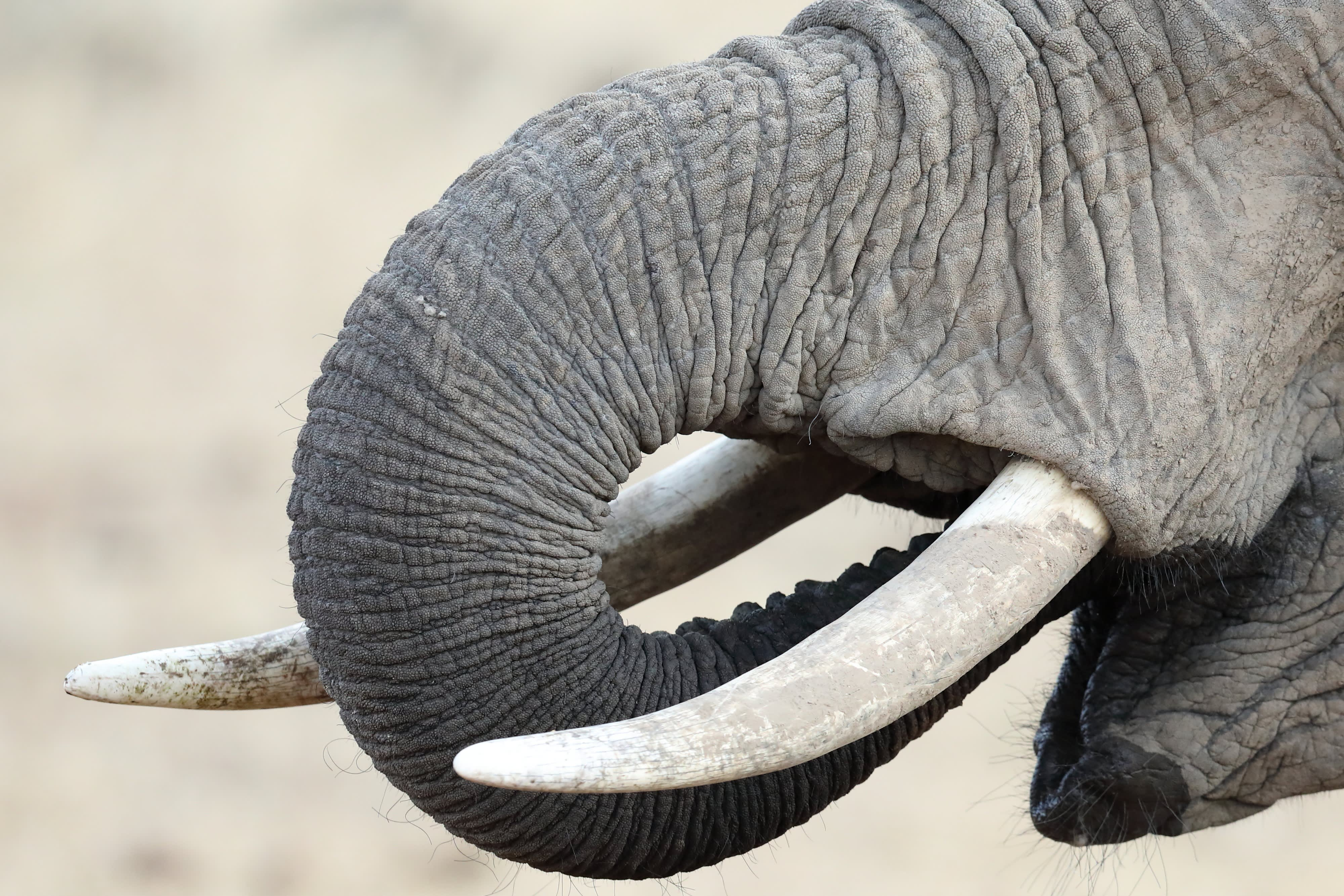 Trunk and tusks in armony
