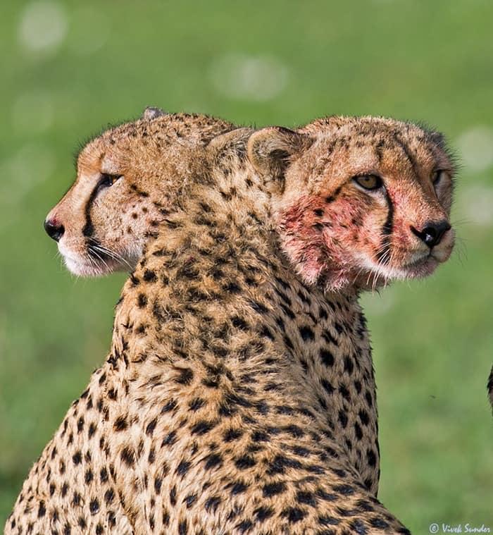 Siamese Twin Cheetahs!