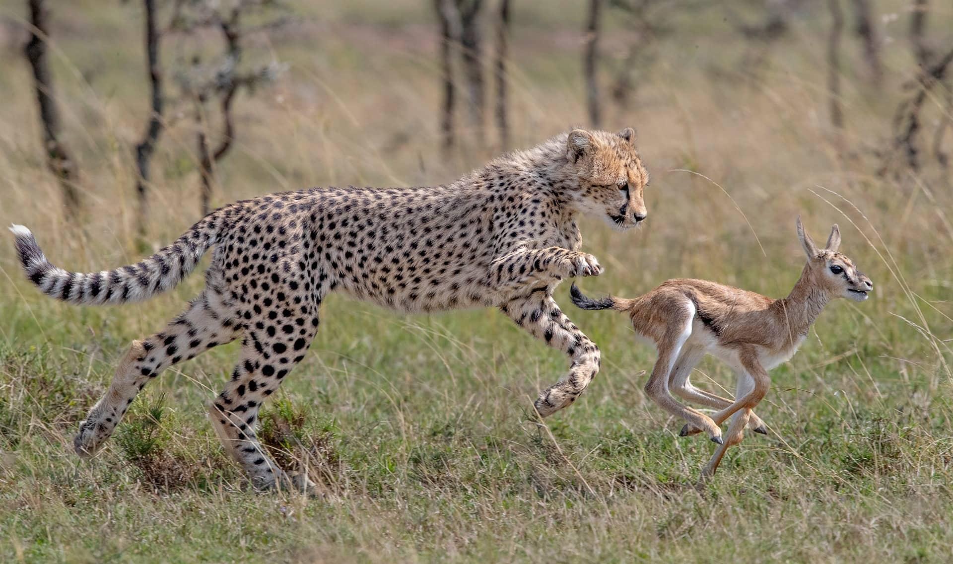 Cheetah cub and fawn