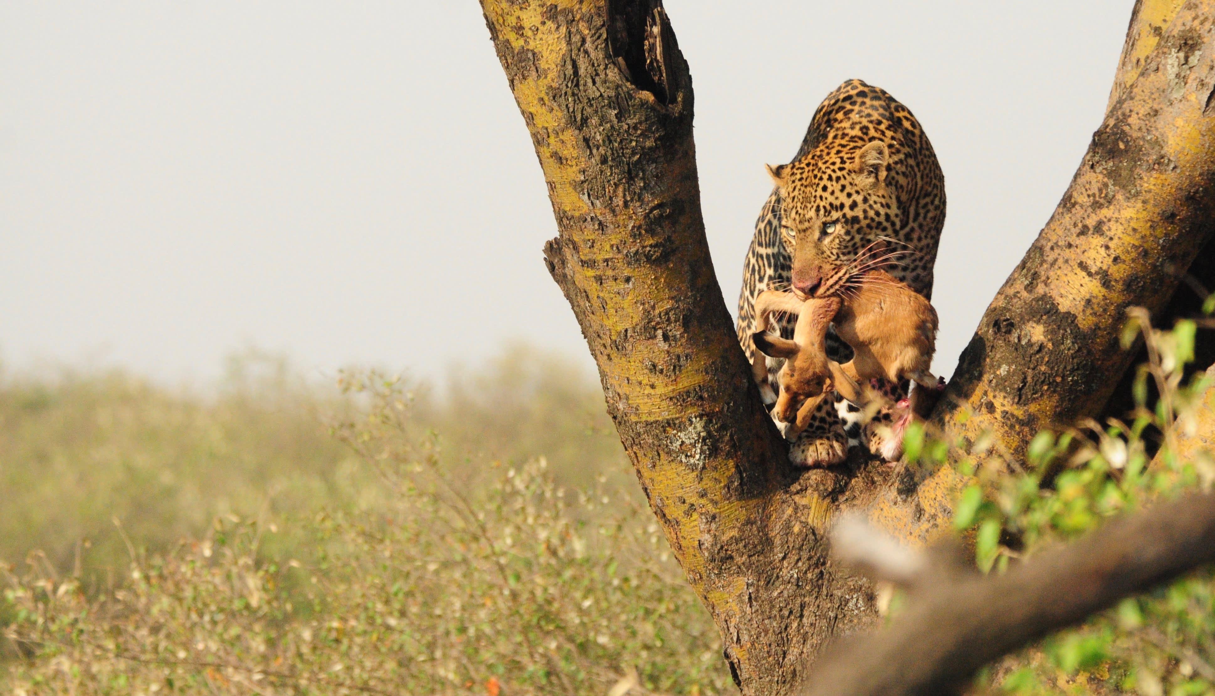 Leopard Snack