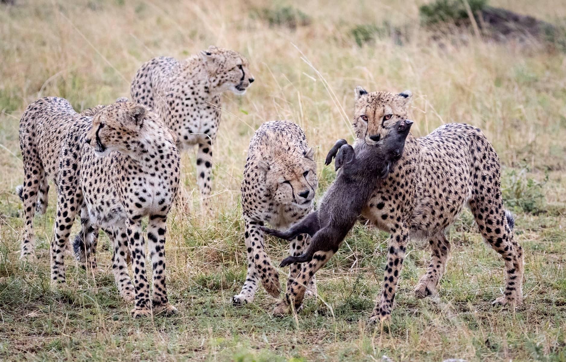 Cheetah Teamwork
