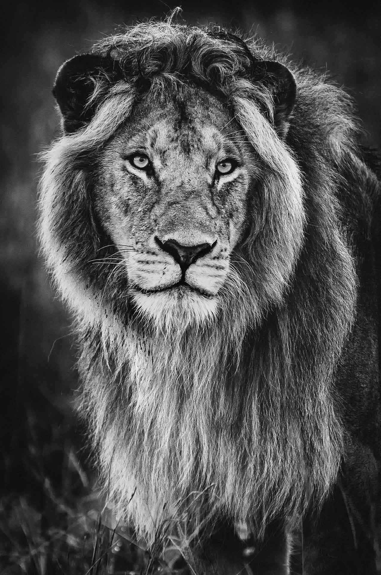 Portrait of Young Male Lion