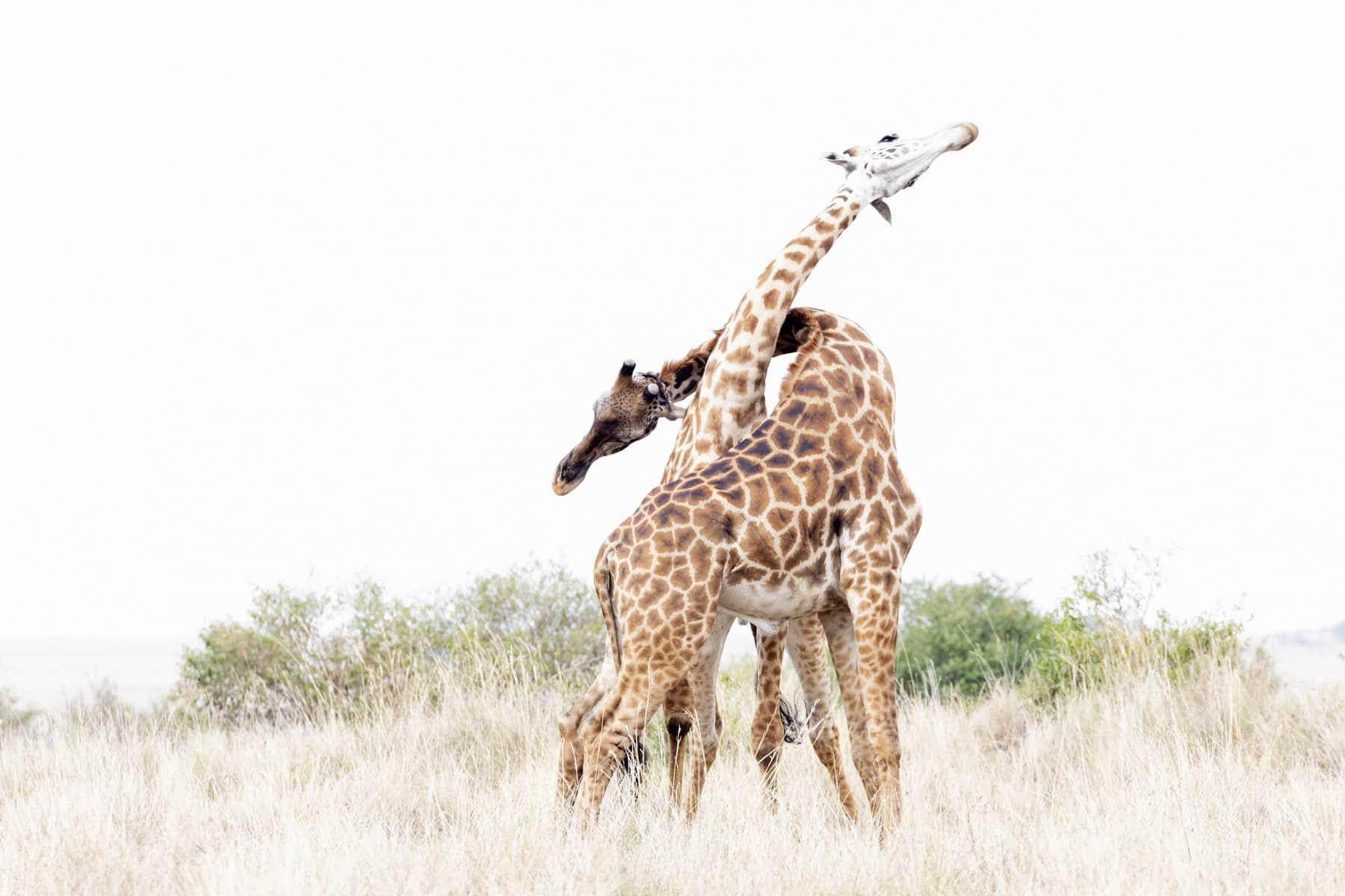 Dance of the Giraffes