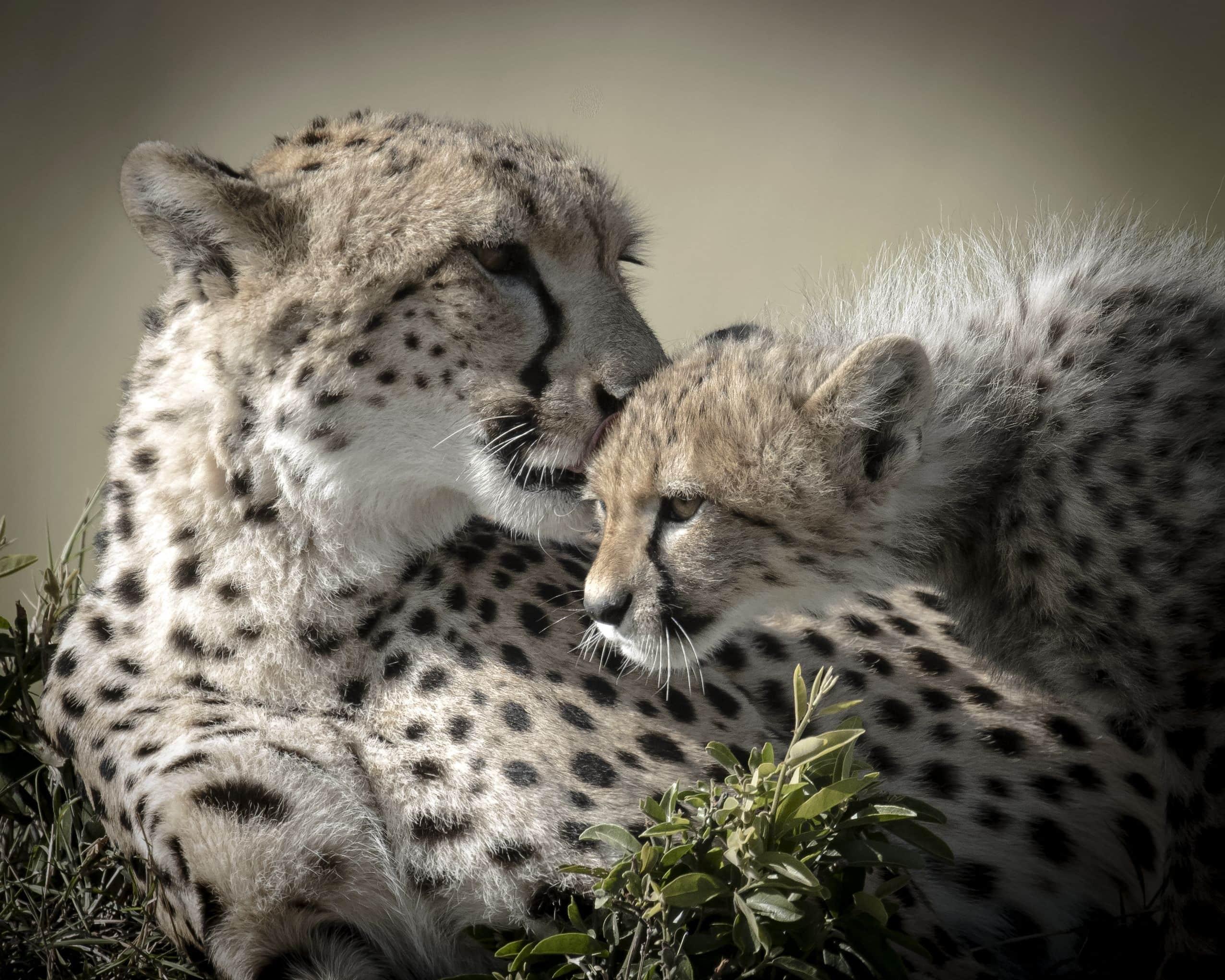 Cheetah Kiss