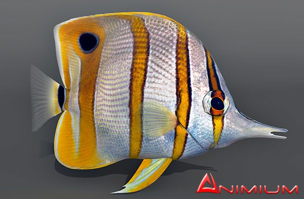 Copperband butterfly fish 3d model