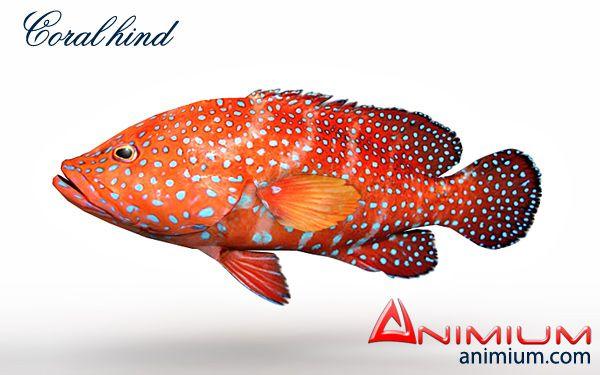 Coral Hind 3d model