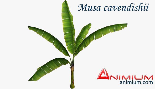 Musa cavendishii plant 3d model