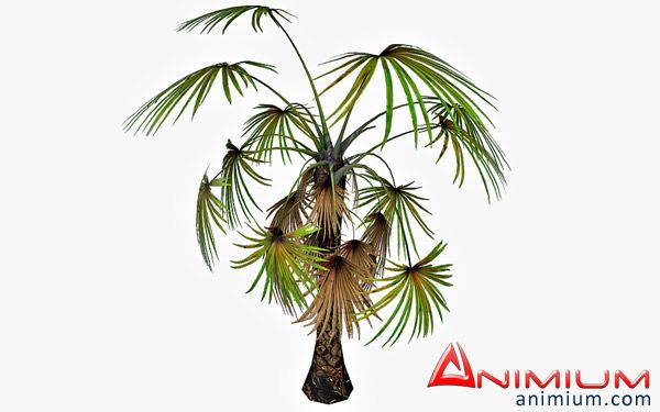 Fan Palm tree 3d model