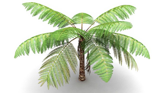 Cyathea tree fern 3d model