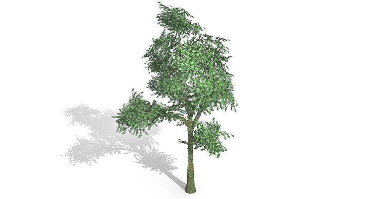Beech Tree 3d model