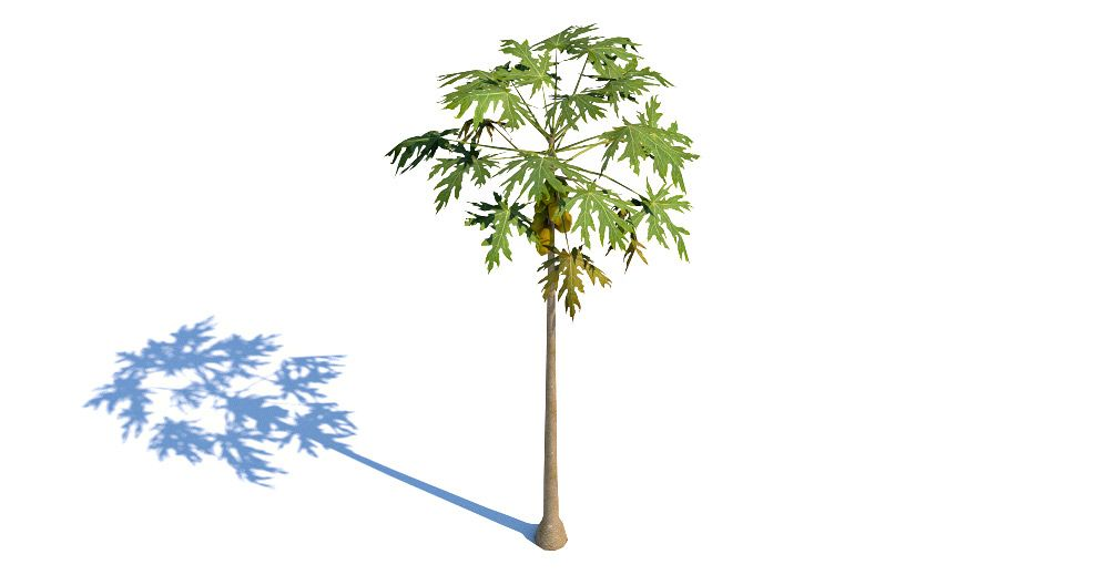 Papaya Tree 3d model