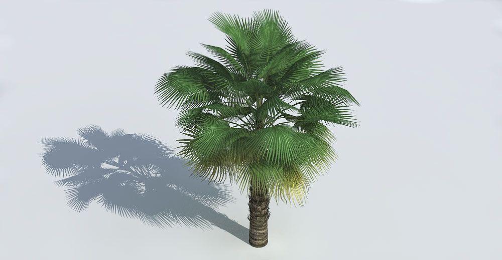 Washingtonia Palm 3d model