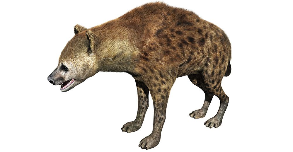 Hyena 3d model – Hair and Fur